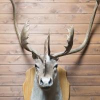 Caribou (lobby)
